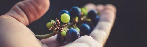 Uvas para vino en la mano - Doñana